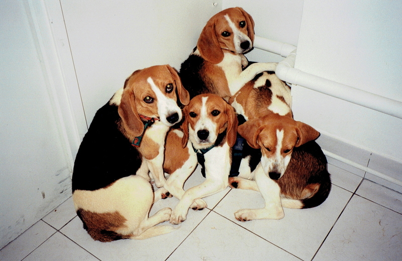 Large medium 2001 one voice sauvetage beagles laboratoires 1
