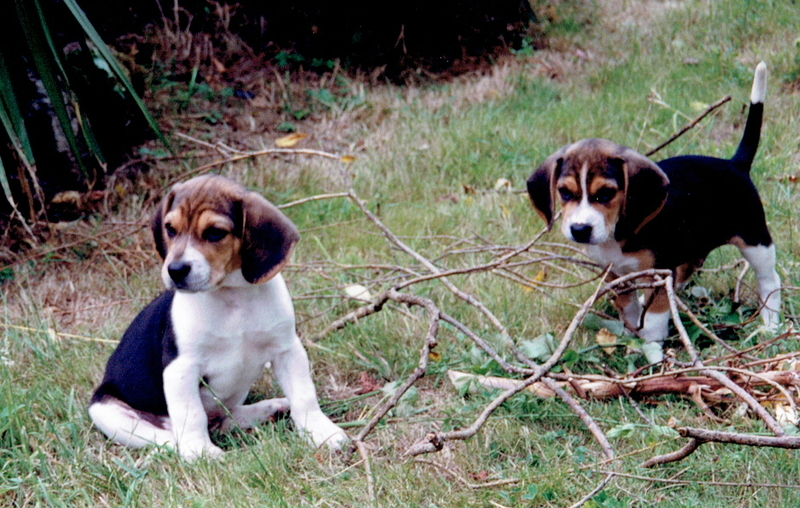 Large medium 2001 one voice sauvetage beagles laboratoires 2