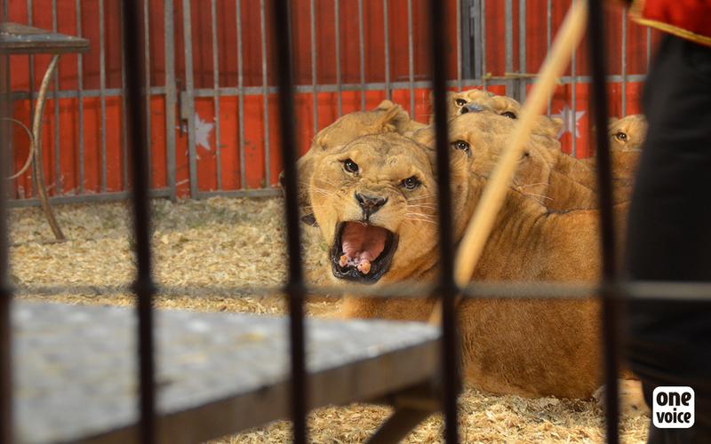 Des lionnes et des lions sous la coupe d'un roitelet du Cirque de Paris hors de toute loi.