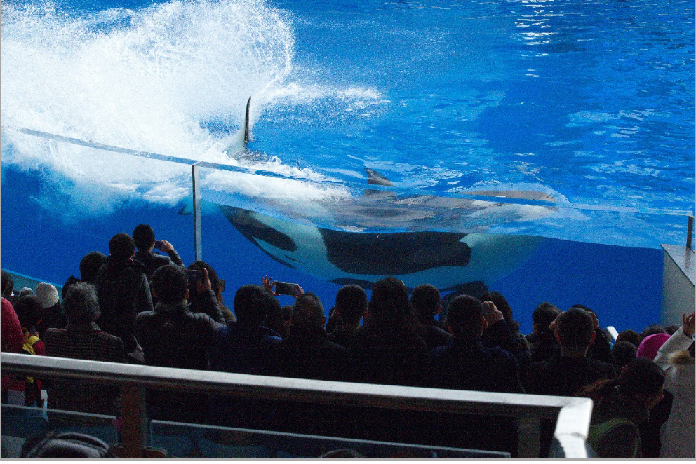 An orca on its side, using its tail to create large splashes which reach the audience, Shanghai Haichang Ocean Park, Shanghai, China (photo taken 20181223, © Ingrid N. Visser).