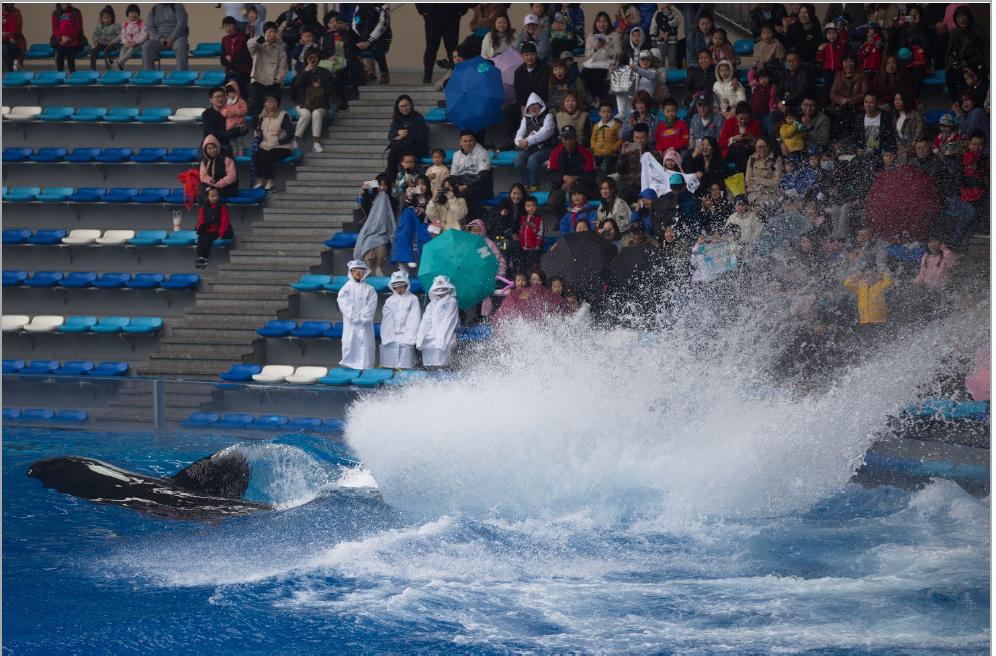 Trois enfants (en imperméables blancs) dans la zone d'éclaboussement générée par l'orque (notez également la présence de parapluies dans le public), au Shanghai Haichang Ocean Park, Shanghai, Chine (photo prise le 4/4/2019, © Ingrid N. Visser).