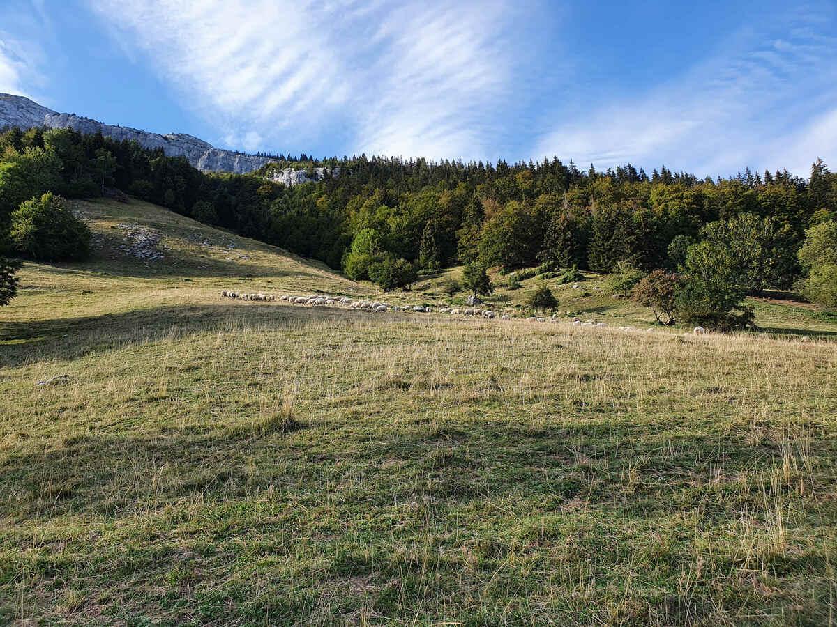 Moutons sans protection malgré un TDR au Mont - Les Villards sur Thônes